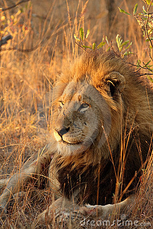Free Lion In Sabi Sands Royalty Free Stock Image - 5642606
