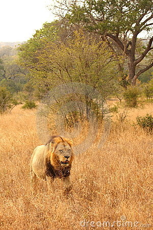 Free Lion In Sabi Sands Stock Photography - 5643012