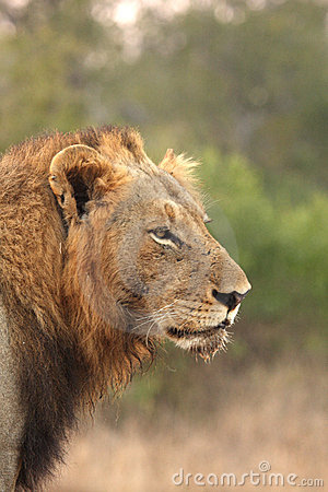 Free Lion In Sabi Sands Royalty Free Stock Photography - 5643477