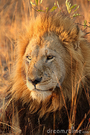 Free Lion In Sabi Sands Royalty Free Stock Photography - 5700457
