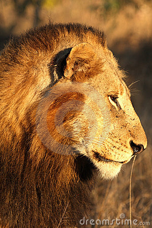 Free Lion In Sabi Sands Royalty Free Stock Photography - 5700557