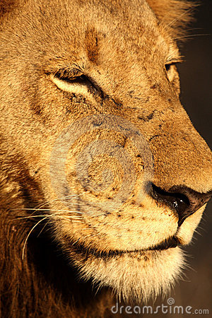 Free Lion In Sabi Sands Stock Photography - 5763072