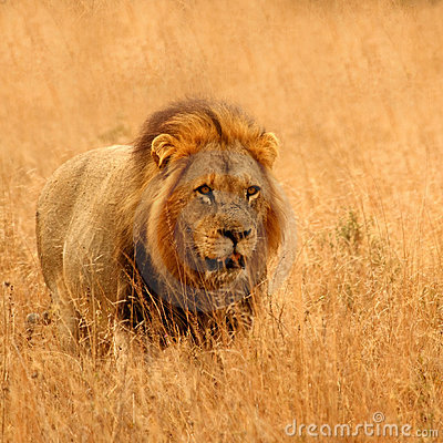 Free Lion In Sabi Sands Stock Images - 6895224