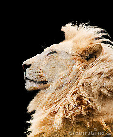 Free Lion Isolated Stock Photos - 12363783
