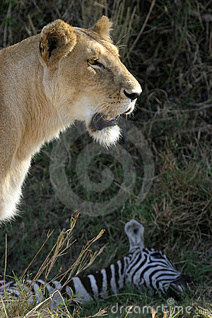 Lion at Kill