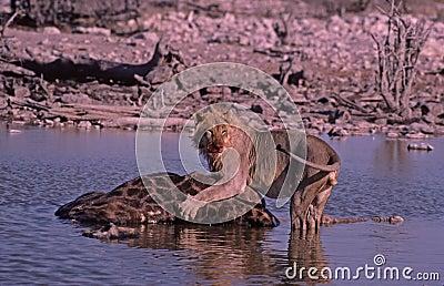 Lion kill,Etosha Park,waterhole,Namibia