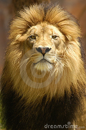Free Lion King Staring With Intense Pride And Confidence. Stock Images - 17593734