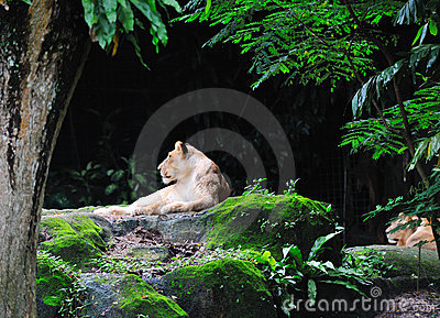 Lion laying