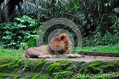 Lion laying