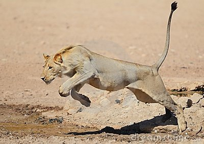 Lion leaping like a cat over water in the Kalahari