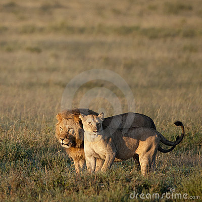 Lion and Lioness at the Serengeti National Park