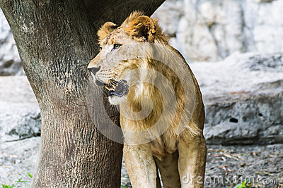 Lion Look in Chiangmai Zoo , Thailand