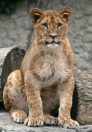Young Lion look at me