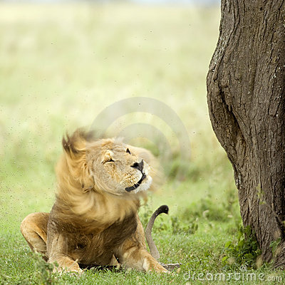 Lion lying down in the grass