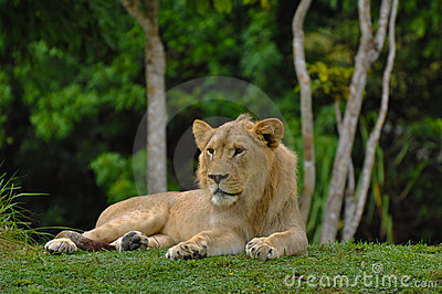 Lion Lying Down with Jungle in Background