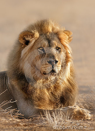 Free Lion Male Royalty Free Stock Photo - 15142695