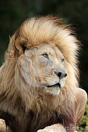 Free Lion Male Royalty Free Stock Photography - 36319247