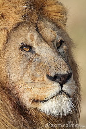 Lion male close-up portrait, Serengeti, Tanzania