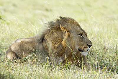 Lion male on grassland