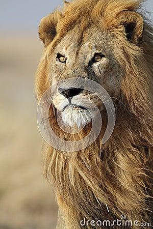Lion male with large golden mane, Serengeti