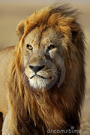 Lion male with large golden mane, Serengeti