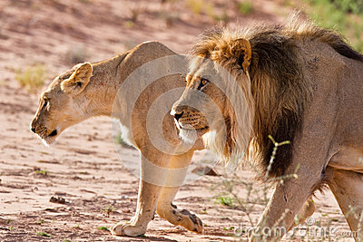 Lion male and lioness hunting