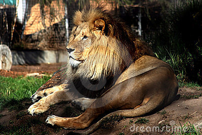 A Lion in Melbourne Zoo.