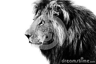 lion noir et blanc photo stock image 49581935. Black Bedroom Furniture Sets. Home Design Ideas