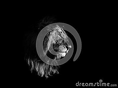 lion noir et blanc photo stock image 49582011. Black Bedroom Furniture Sets. Home Design Ideas