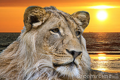 Lion and ocean sunset