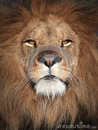 Free Lion (Panthera Leo) Stock Image - 61466281