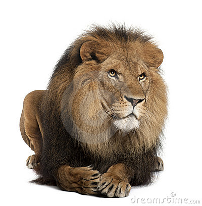 Lion, Panthera leo, 8 years old, lying