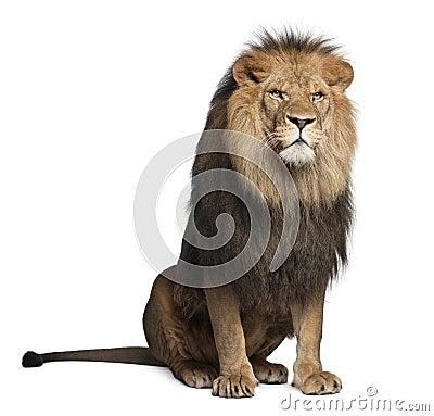 Free Lion, Panthera Leo, 8 Years Old, Sitting Royalty Free Stock Photos - 22173798