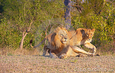 Lion (panthera leo) and lioness