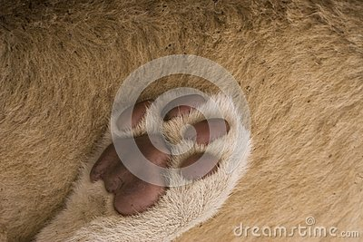 Lion paw abstract