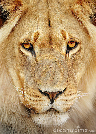 Free Lion Portrait Royalty Free Stock Photography - 19439047