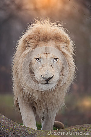 Free Lion Portrait Royalty Free Stock Images - 62714859