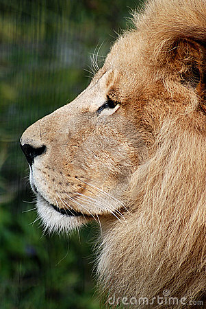 Lion Portrait in profile