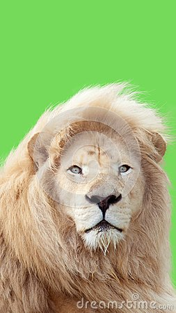 Free Lion Portrait With A Green Background Stock Photography - 104726092