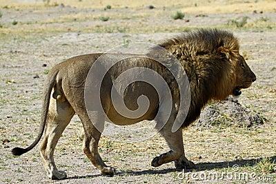 Lion Pride Big Boy A Walking