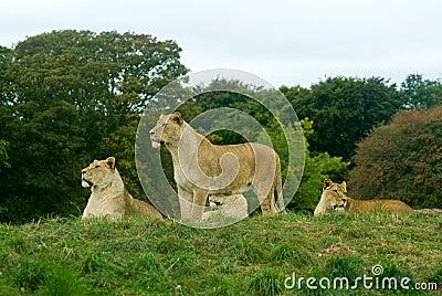 Lion pride resting