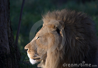 Lion in profile