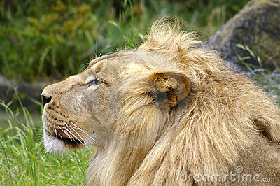Lion profile