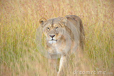 Lion on a prowl
