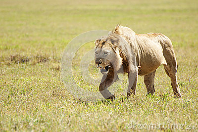 Lion prowling savannah
