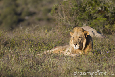 Lion relaxes on grassland