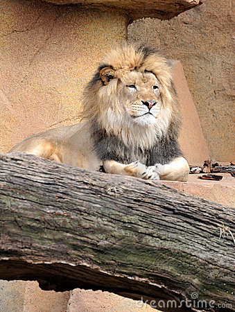 Lion Relaxing on Rocks