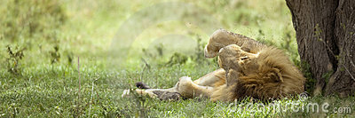 Lion resting under a tree