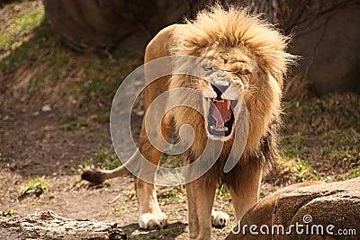 Lion Roaring or laughing
