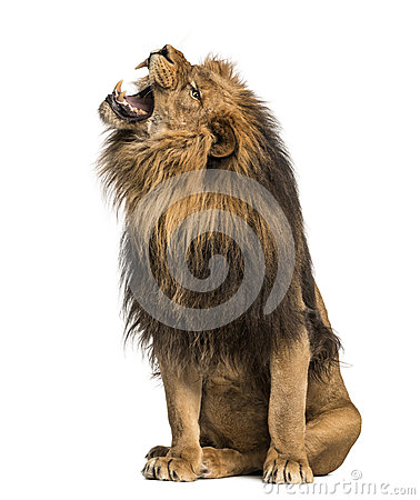Free Lion Roaring, Sitting, Panthera Leo, 10 Years Old Stock Photo - 40402360